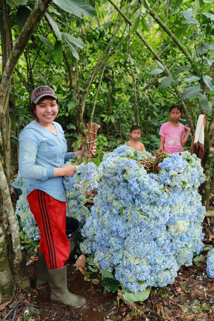 A beautiful Balinese Girl happy posing into the picture with Blue Hydrangea (Hortensia) flowers bunch in her hands.